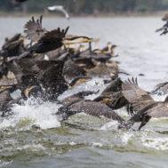 naivasha cormorani
