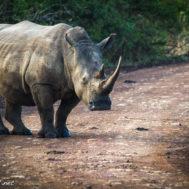 white rhino nairobi