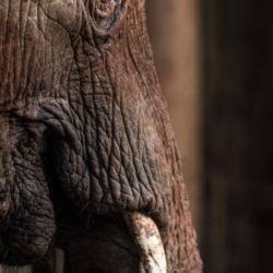 elephant orphan ivory